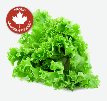 Green or Red Leaf Lettuce