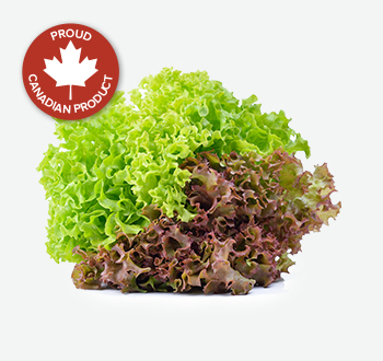 Green & Red Leaf Lettuce